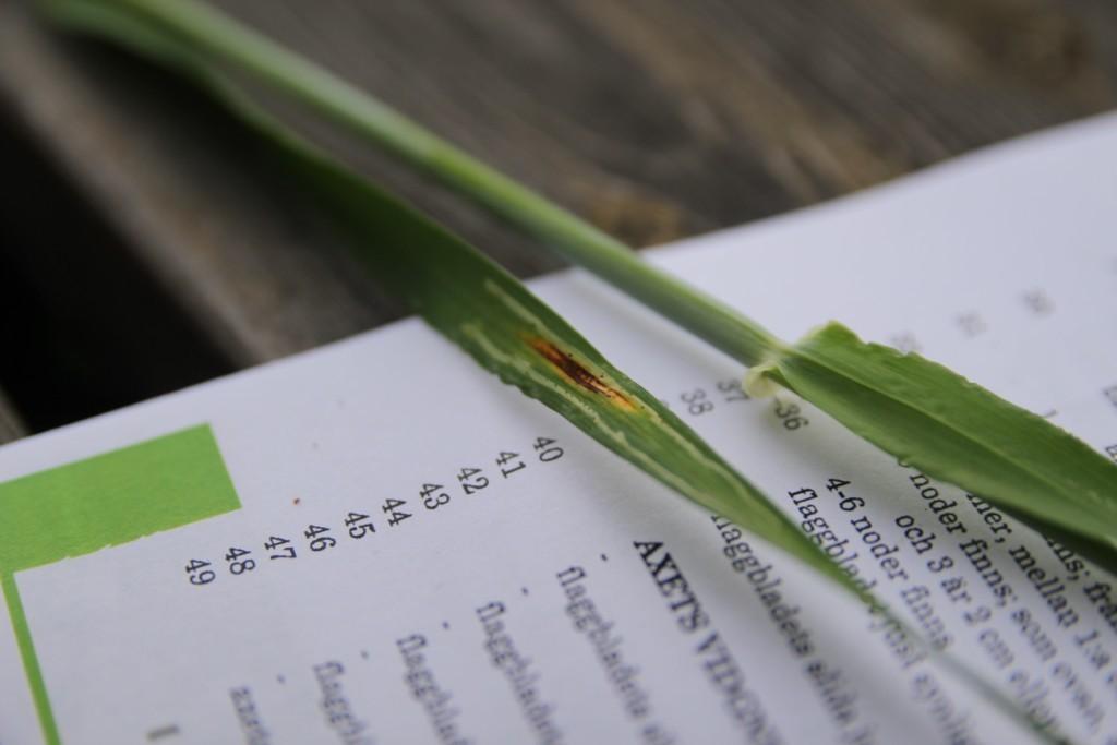 Den brungula fläcken är kornets bladfläcksjuka, som är en svampsjukdom. De ljusa strecken på var sida om fläcken är gångar som minerarflugans larver har gjort.