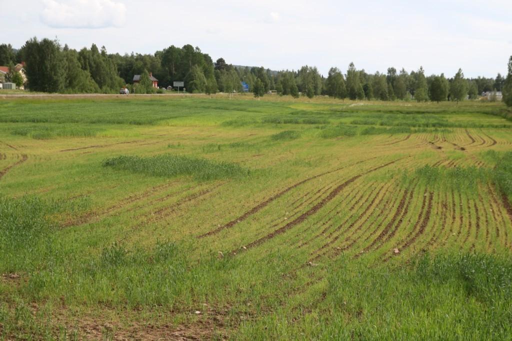 Som ni ser verkar kornet inte må så bra. Vetet är (fläckvis) frodigt iallafall. Till vänster i bild är det lite lättare jord och där har vetet klarat regnen. Nere till höger är det blötare. (Jag har dessutom haft stopp i en såbill när jag sådde, vilket är orsaken till att det är bruna ränder där det inte växer något)