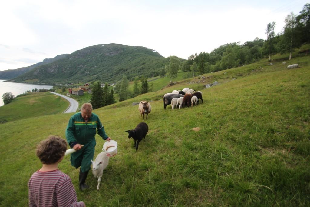 Fåren går på bete en bit från gården. Några av lammen ska matas med nappflaska fortfarande och de vuxna fåren får lite extra kraftfoder.