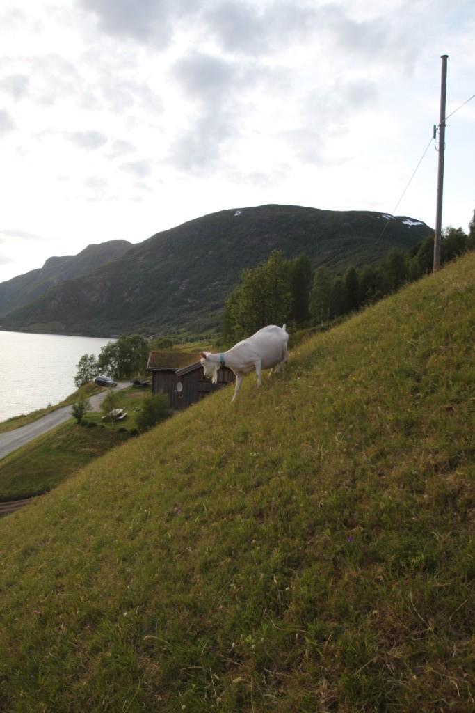Getterna är på väg hem till mjölkningen. Getter gillar att klättra. Det gör inte jag.
