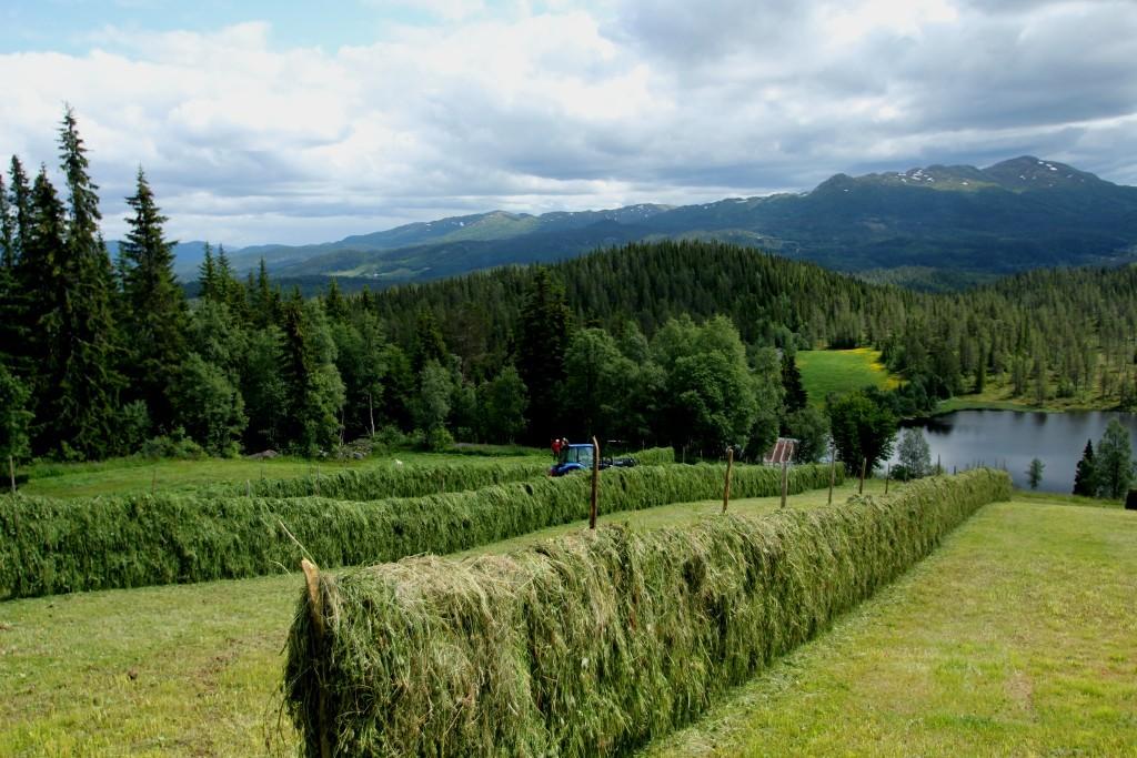 Långa hässjor på åkern ovanför gården. Det är 5 lager gräs i varje hässja. Gräset hänger på ståltrådar som är spända längs hela hässjan.