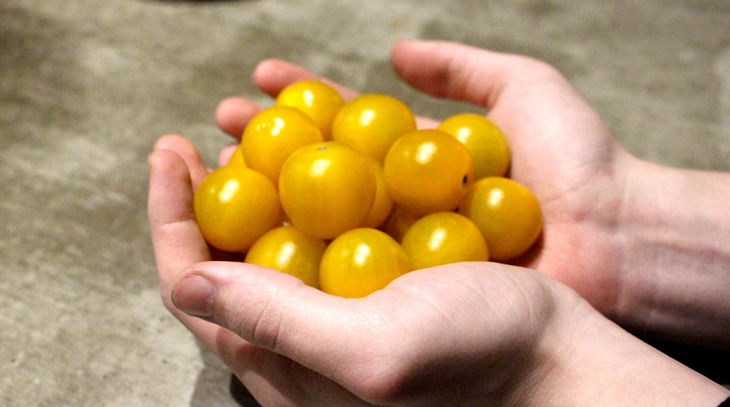 Tomatlista 2018  Gula tomater  b1252ca08dd5e