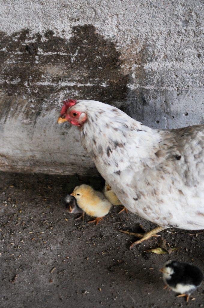bilder pГҐ heta svarta kycklingar