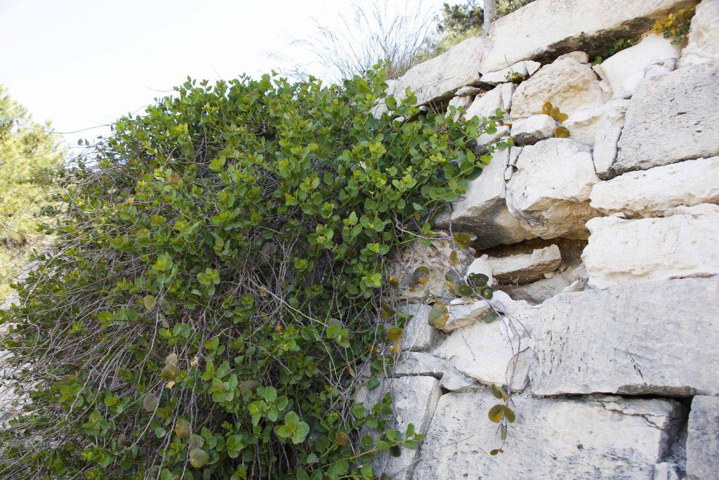 Det är inte ovanligt att kapris växer mitt på en mur flera meter över marken.
