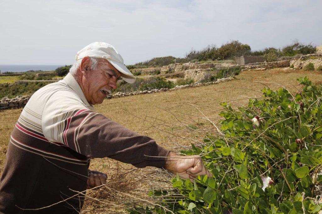 Bonden Carmelo Magro plockar vild kapris längs sina åkrar utanför Marsaxlokk.