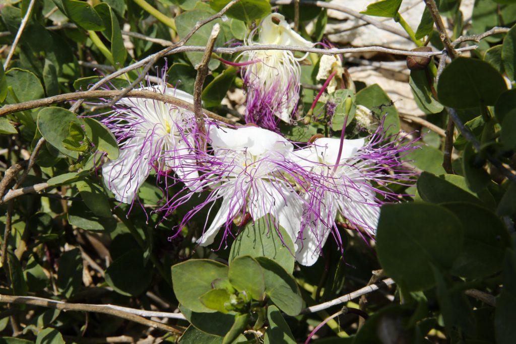 Kaprisblomman blir omkring fem cm i diameter med vita vackra kronblad.