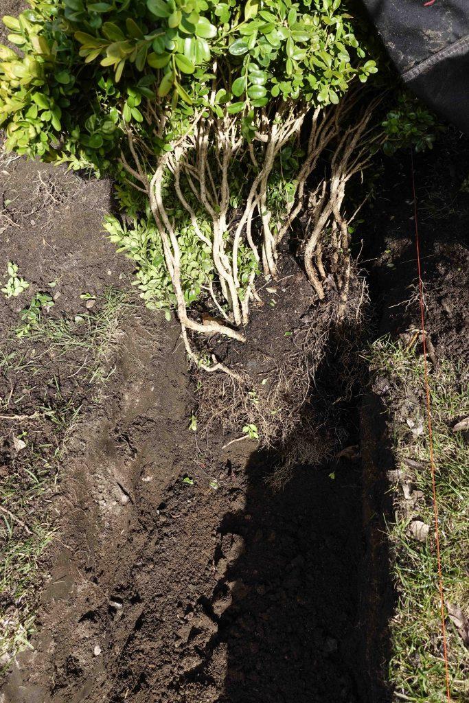 """Plantera buskarna så som du vill att plantan ska växa. Det går utmärkt att lägga rötterna """"åt fel håll""""."""