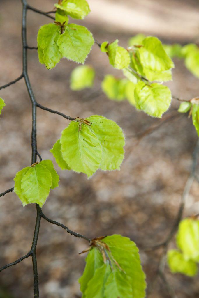Plocka bladen en bit upp från marken för att undvika smutsiga blad.