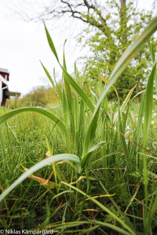 Skogslök (Kajplök på Gotland) växer vilt i naturen.