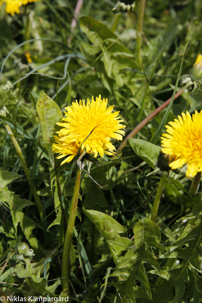 Bortsett från mitt i gräsmattan växer maskrosor längs åkerkanter och i hagmarker.