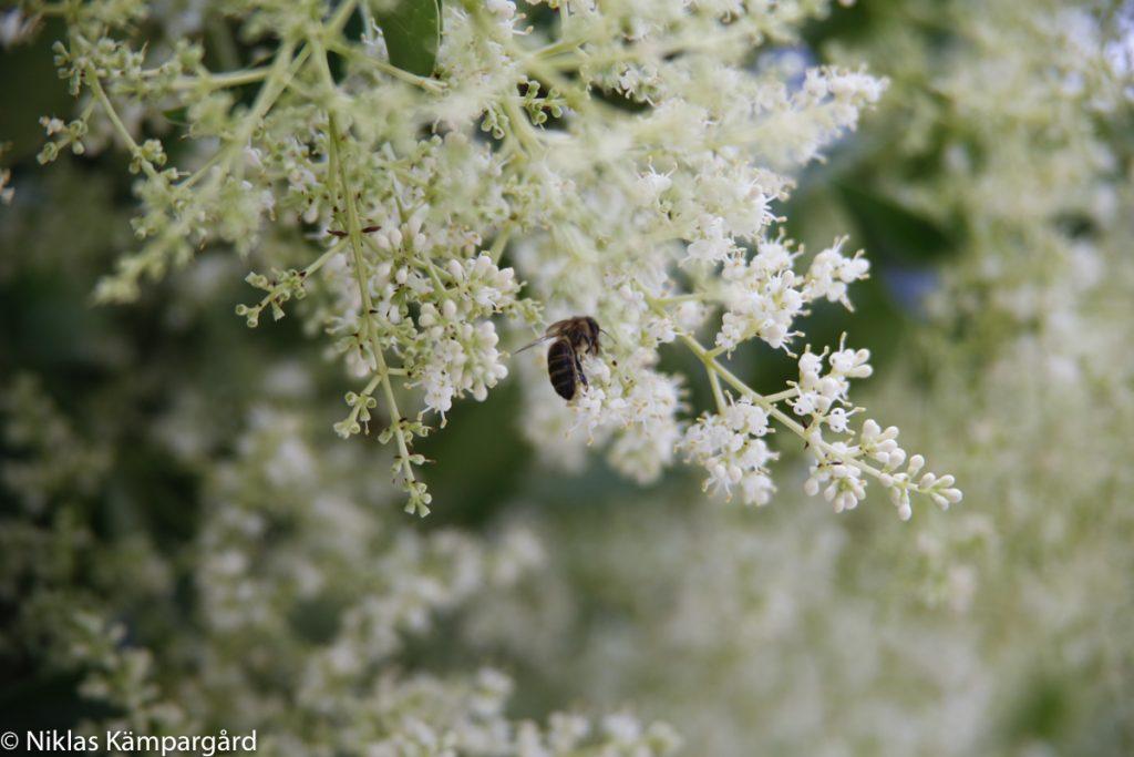 Blommande träd (Japansk liguster) lockar till sig pollinerare.