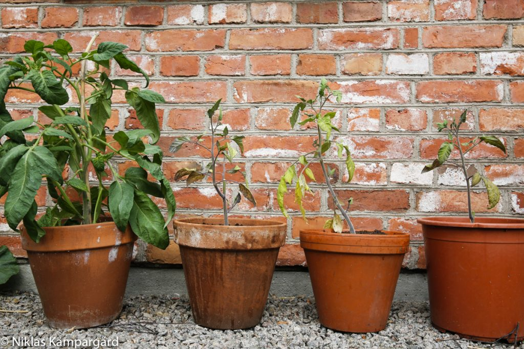 Stor skillnad mellan plantan som växer i jord och övriga plantor som växer i olika mycket kaffesump.