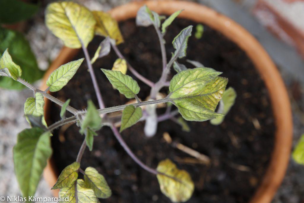 Redan med 30 % kaffesump är tomatplantan hårt stressad av kvävenivån.