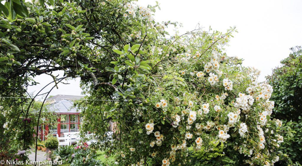 Honungsrosen dominerar hela den södra delen av äppelträdet.