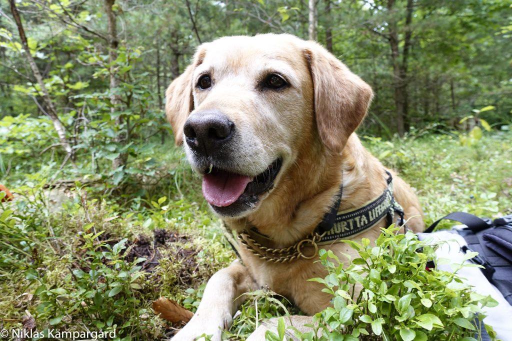 Hunden Sitka älskar svamputflykterna.