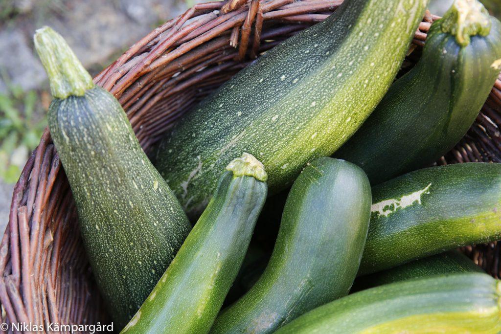 Squashen växer enormt snabbt i trädgårdslandet.