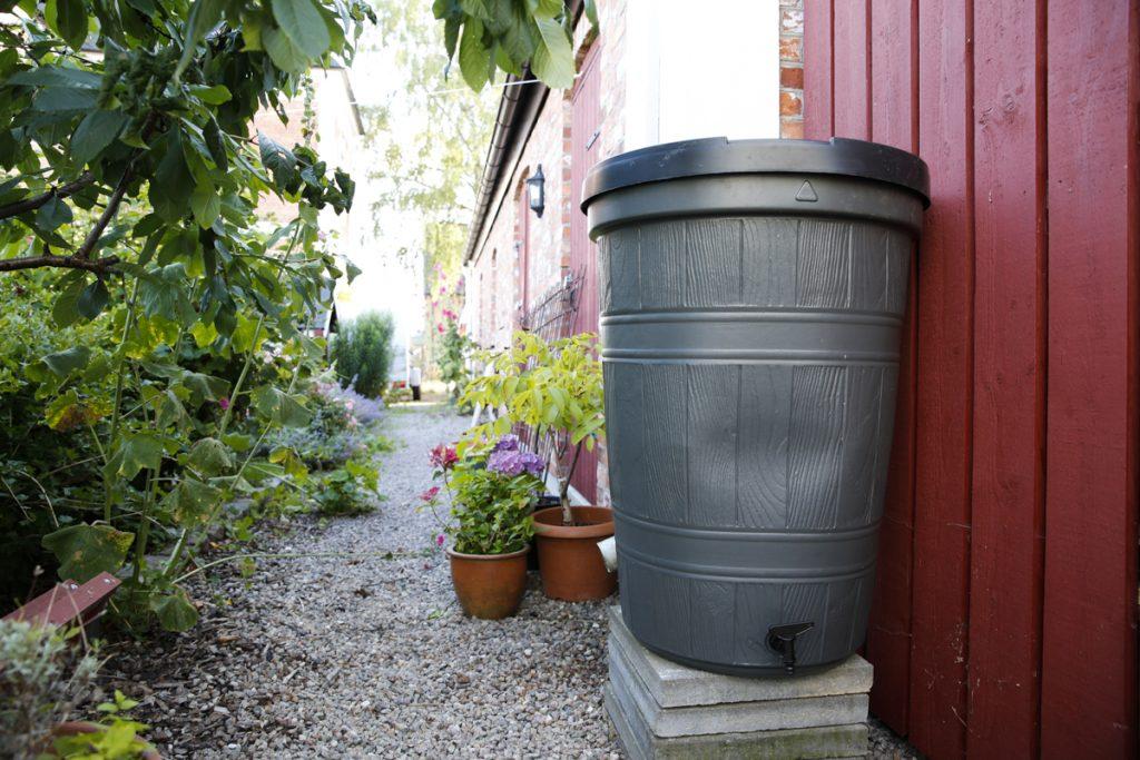 En regnvattentunna i plast förenklar bevattningen i växthuset avsevärt.