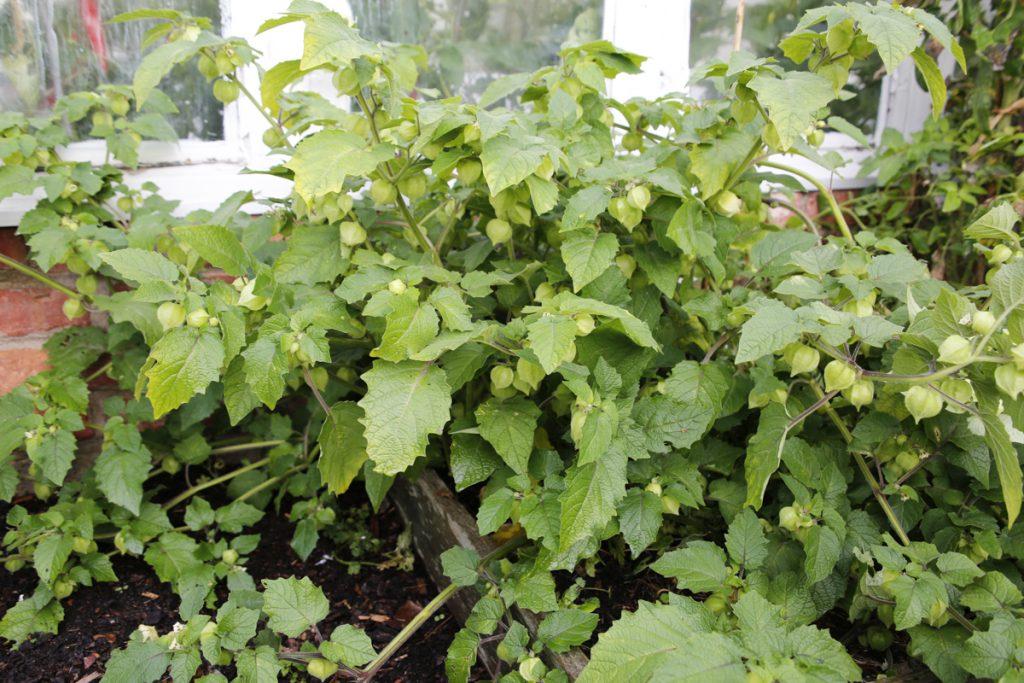 Physalis eller Kapkrusbär gillar näringsrik jord i ett varmt och soligt läge.