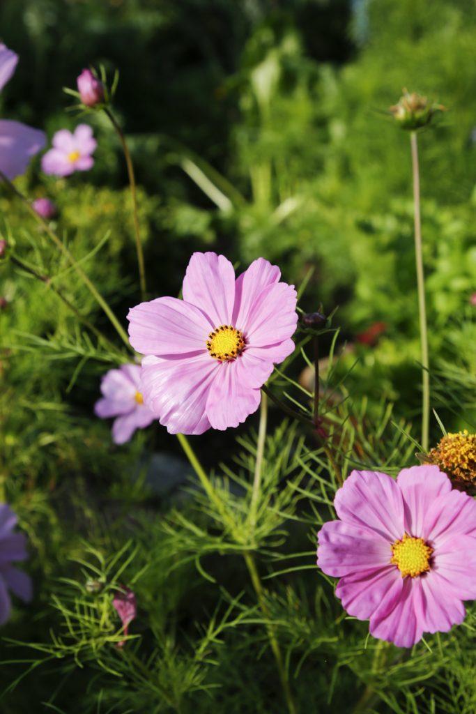 Rosenskäran frösår sig både här och där i trädgården och ger en välbehövlig färgprakt i grönskan.