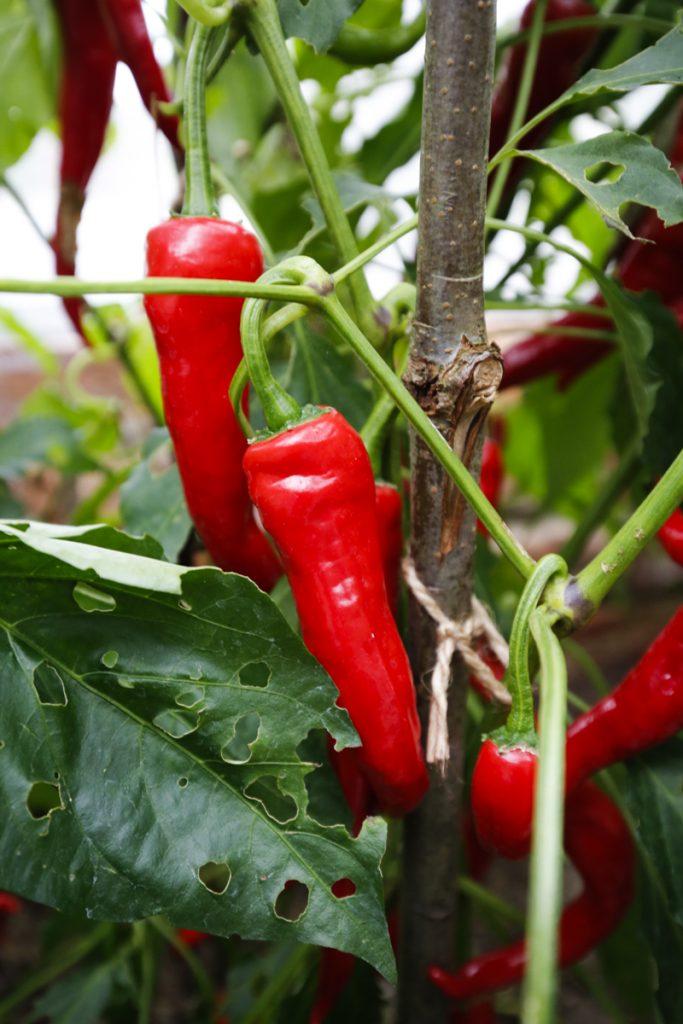 Chili Alban bjuder på rika skördar.