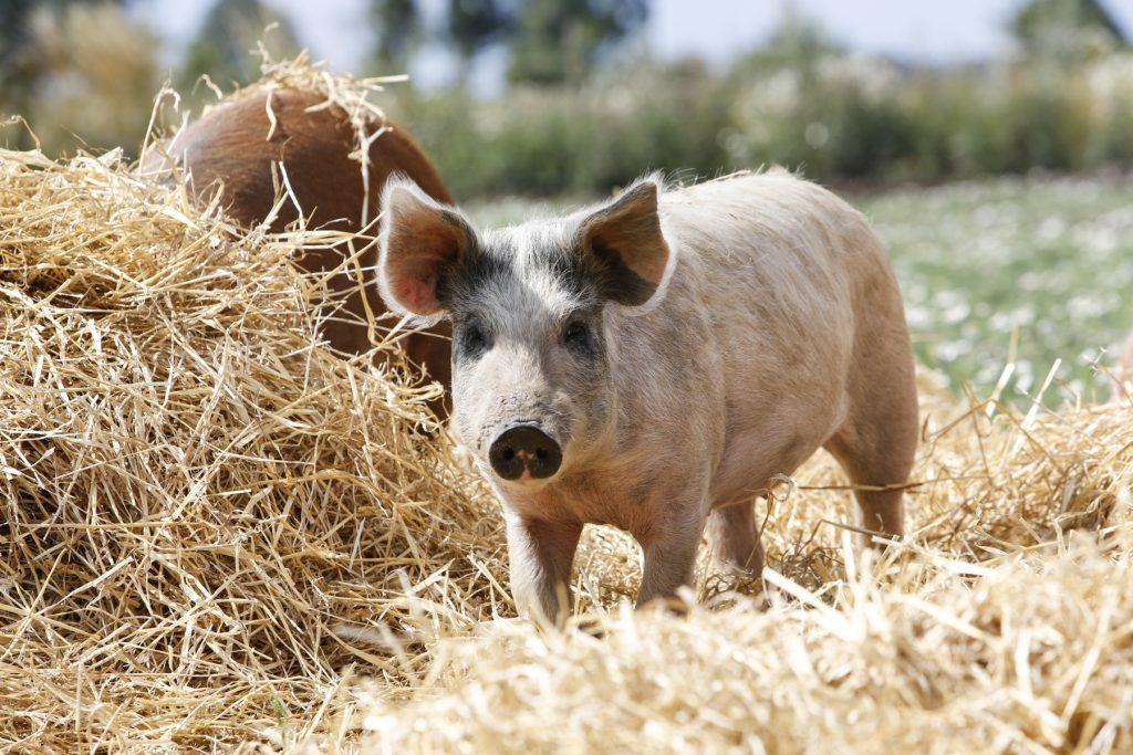 Det är inte bara grisar som gillar tjocka lager med halm. Även grönsaker stormtrivs under ett skyddande täcke med halm.