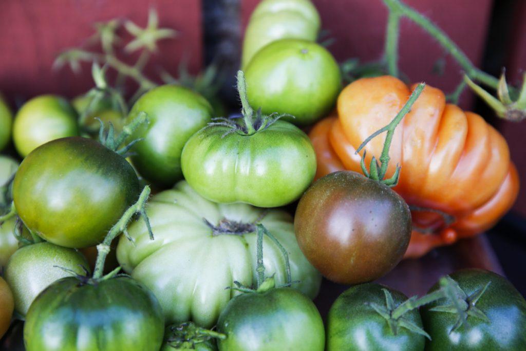 Att ta in färska tomater sent på hösten är en fröjd.