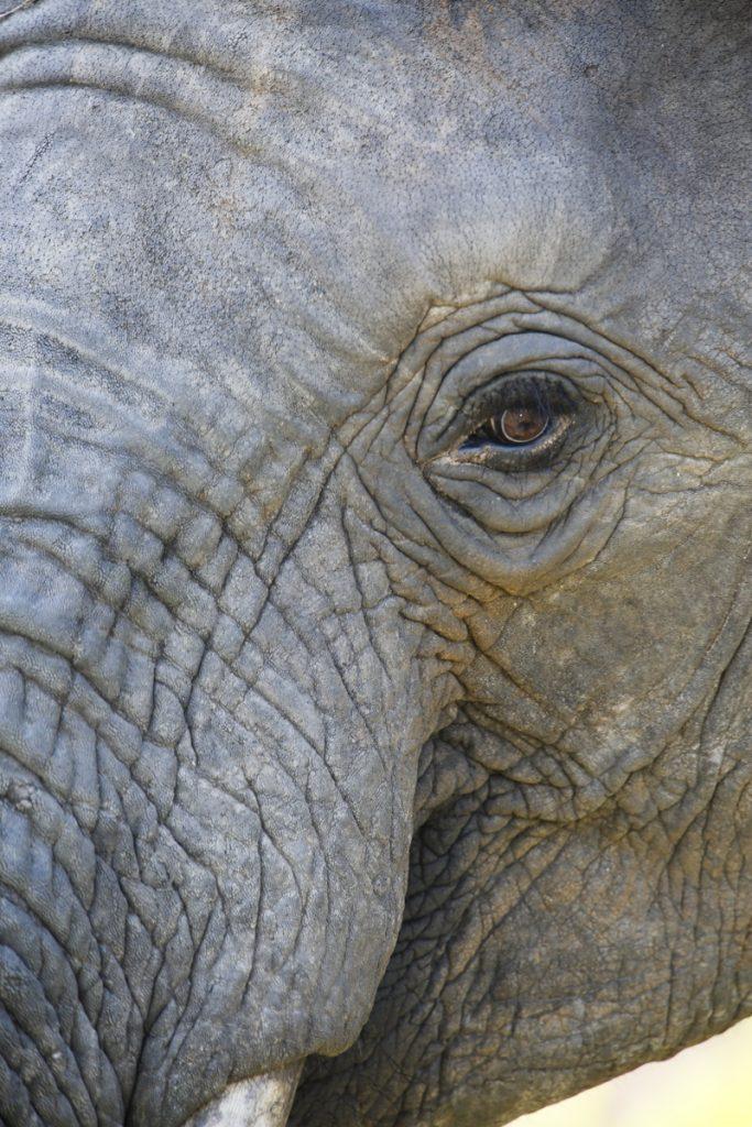 Elefanter är kloka, vackra och dessutom spännande att titta på.