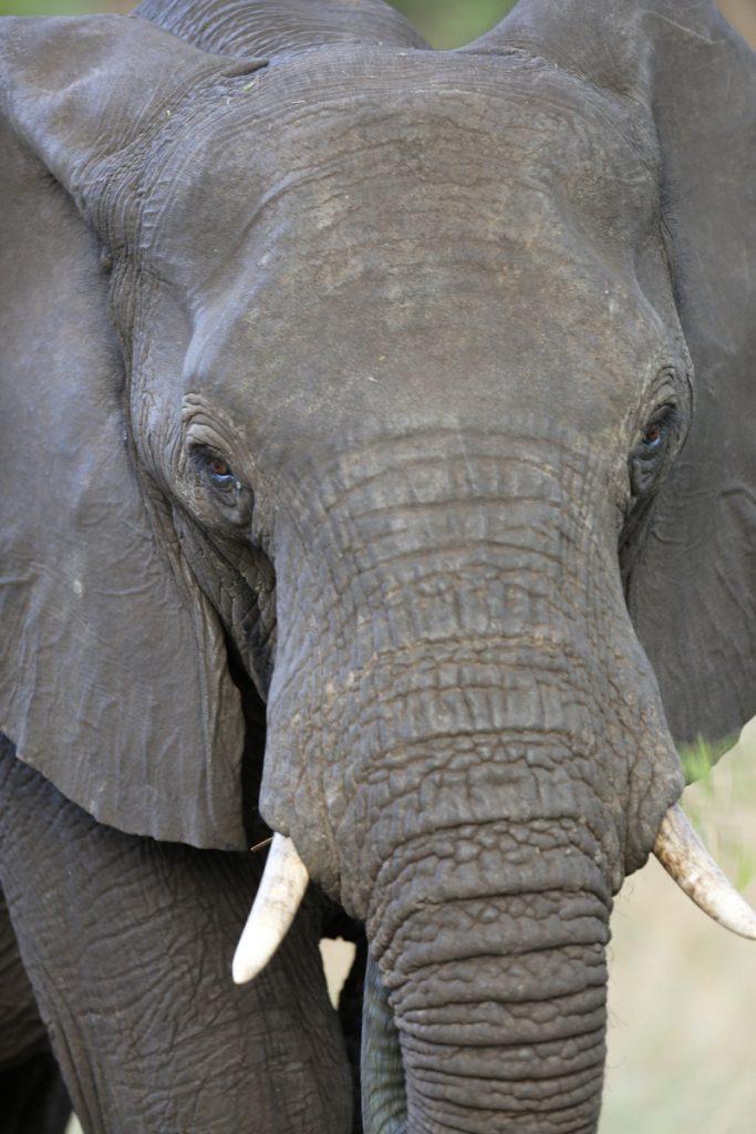 Elefanter jagas för elfenbenens skull. Resten lämnas att ruttna i solen.
