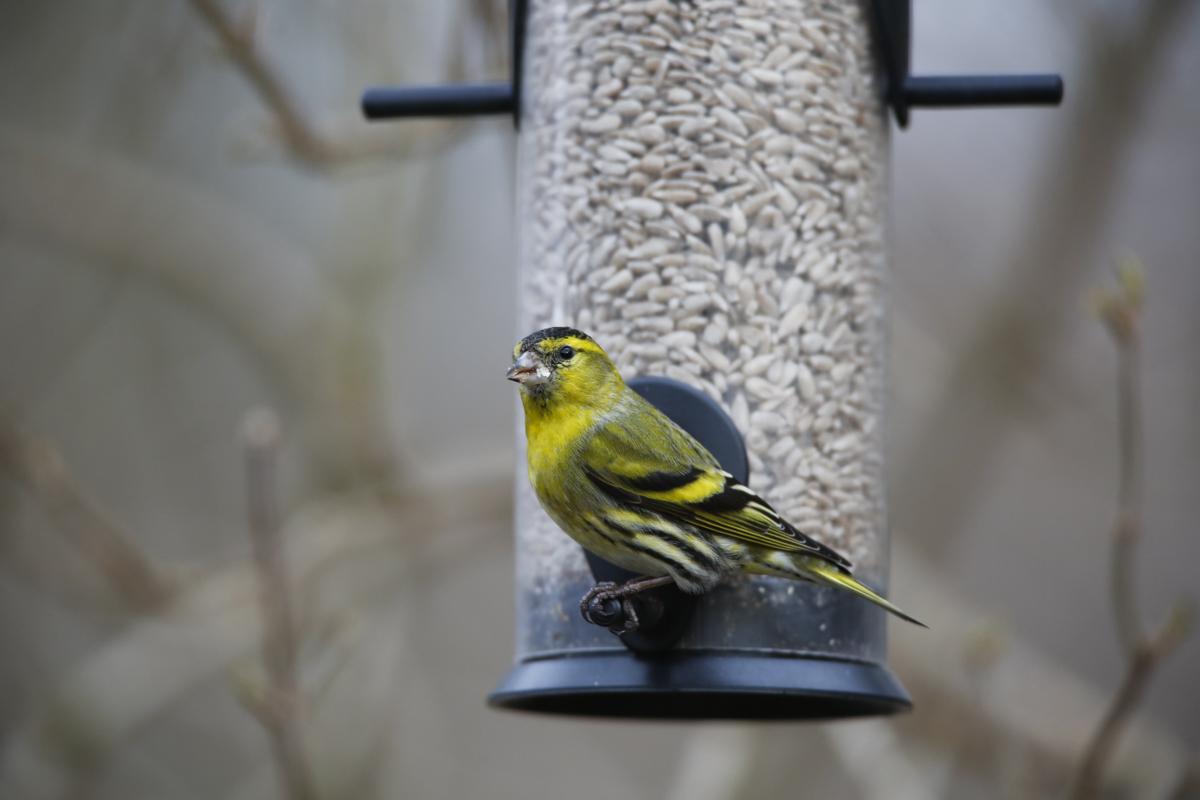 mata fåglar på vintern