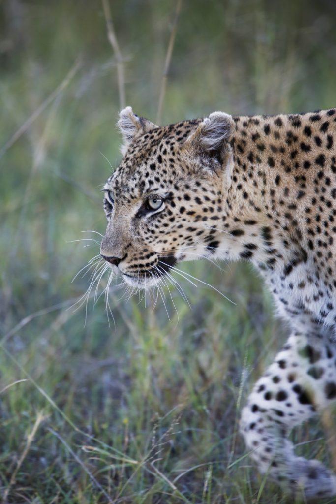 Jordens vackraste kattdjur,  leoparden.