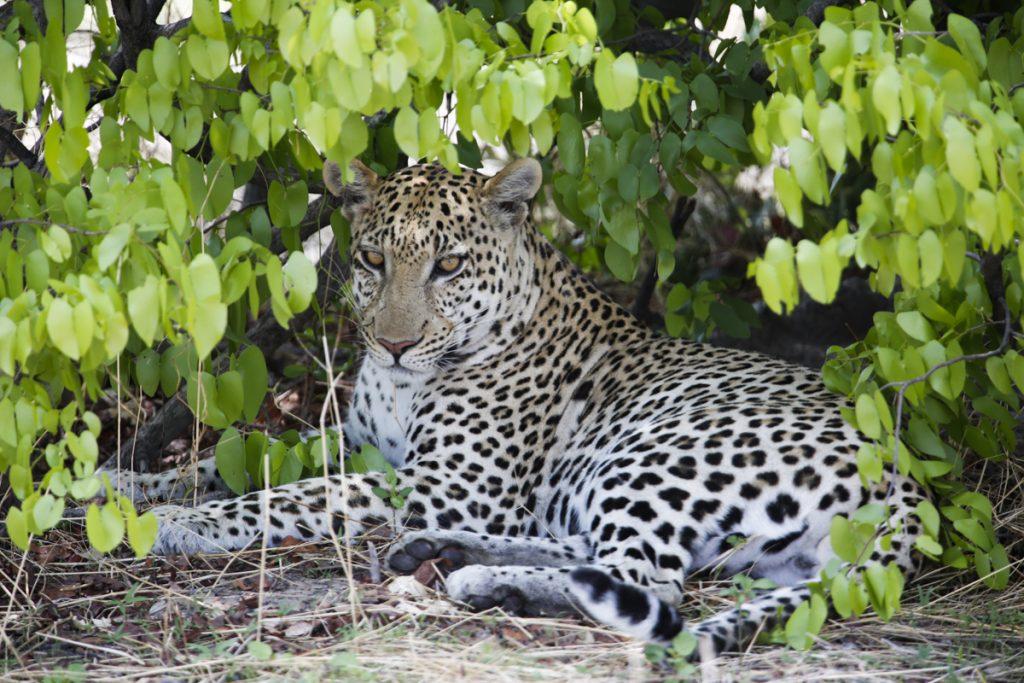 Den vackra leoparden vilar i skuggan under ett träd.