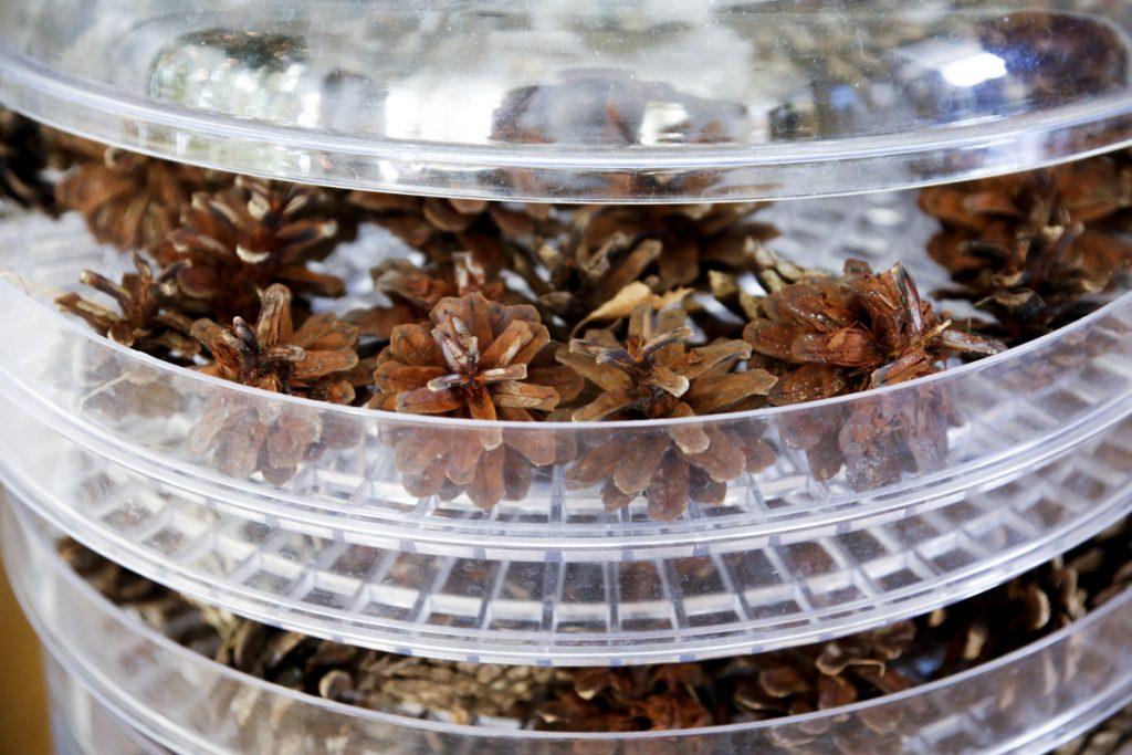 Enklast är att torka kottarna i en helt vanlig svamptork.