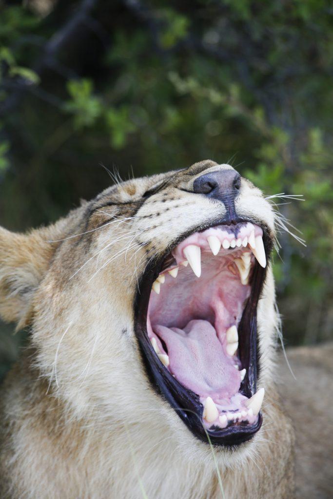 Man kan sitta still och njuta av lejonens existens i flera timmar.