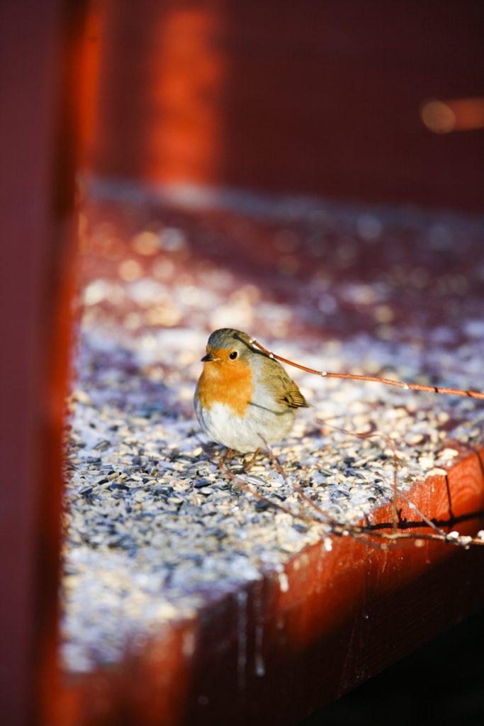 Att mata fåglarna på vintern är en fröjd för ögat.
