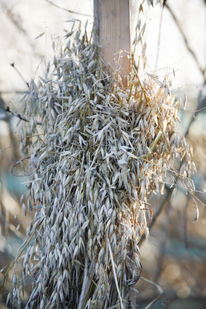 Havrekärvor brukar uppskattas av mindre fåglar som exemplevis gråsparv och gulsparv.
