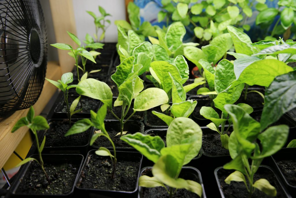 Genom att använda en fläkt som blåser på bebisplantorna blir plantorna starkare.