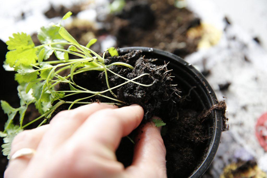Plantera i nya krukor med plantjord eller kompostjord och vattna med vatten eller bokashivatten.