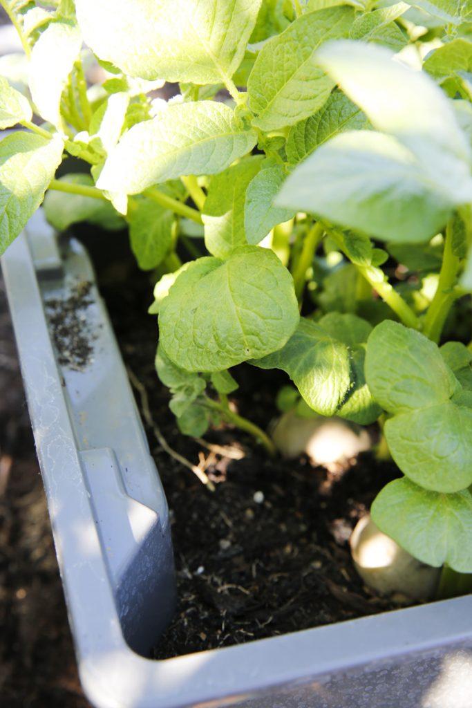 Sätt potatisen glest (optimalt cc 10 - 15 cm) för att rotsystemen inte ska växa ihop med grannplantan.