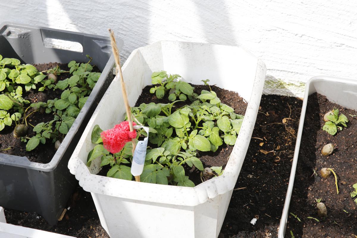 odla potatis i växthus