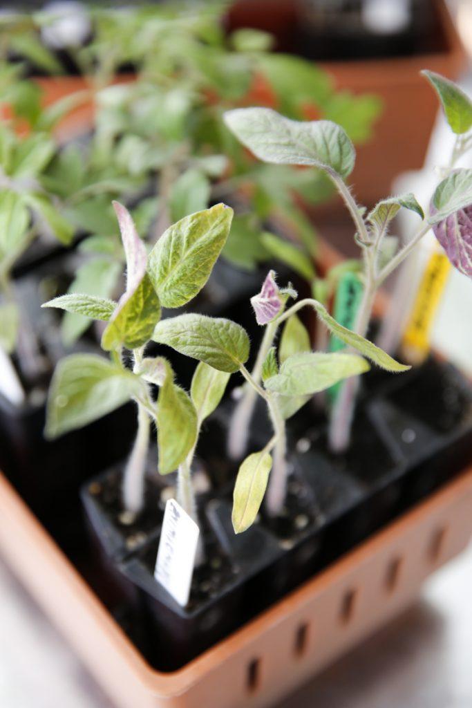 Trots att tomaterna börjar visa tecken på näringsbrist är det ingen fara. Se till att skola om dem i god planteringsjord så tar tillväxten fart på nytt.