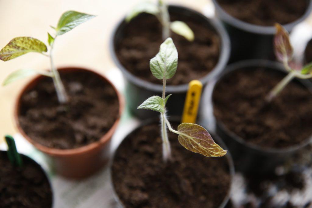 Plantera plantorna djupt (det växer ut nya rötter länge hela stammen).