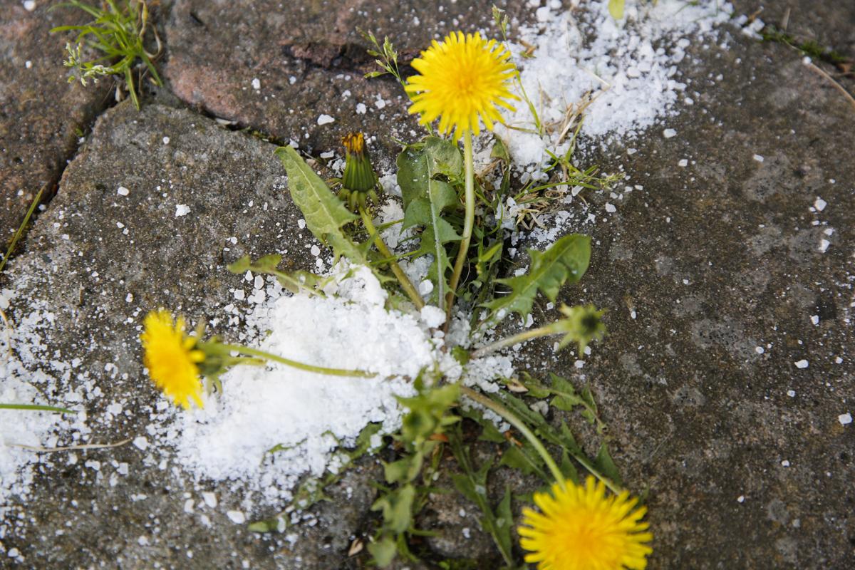 ta bort ogräs med salt