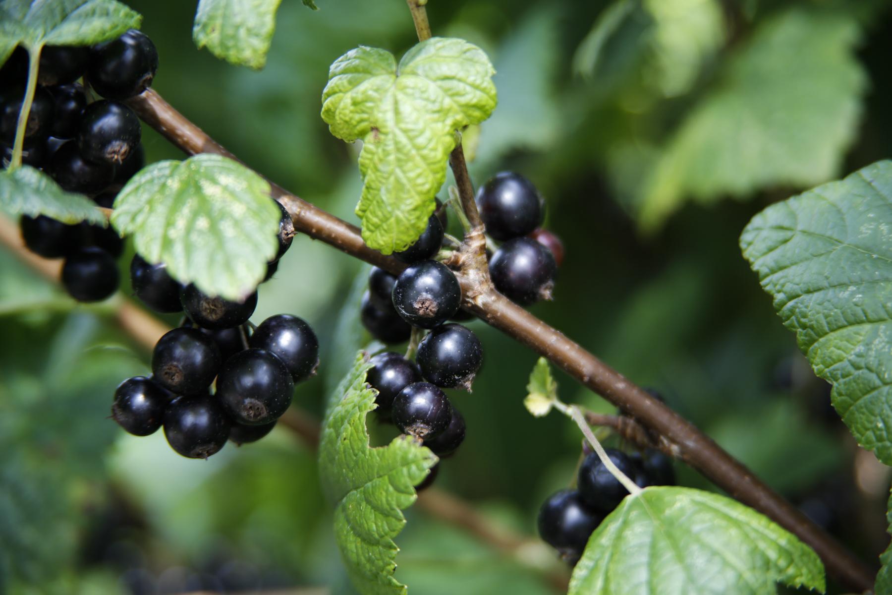 hur torkar man svarta vinbär