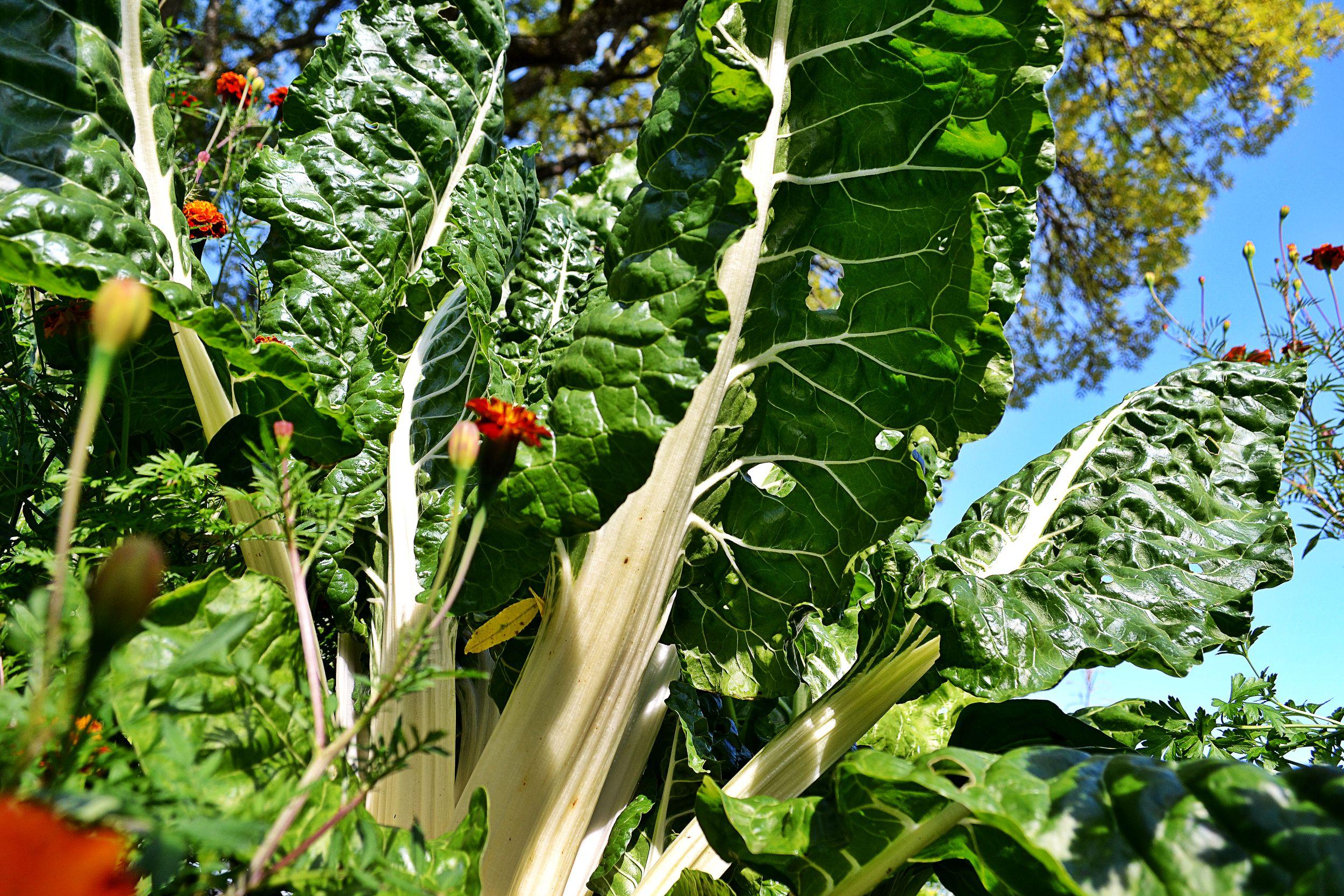 Mangold är en pampig växt med stora blad.