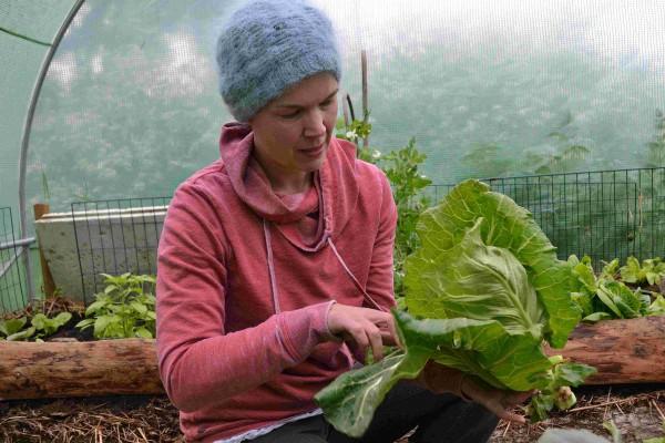 Sara skördar kålhuvud i odlingstunneln.