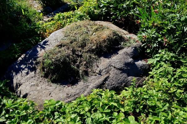 Ogräs torkar på en sten i köksträdgården.
