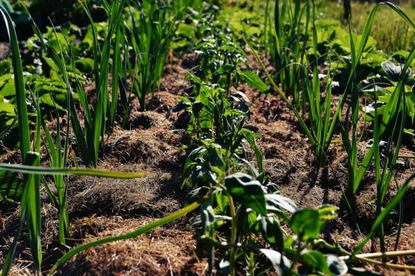 Purjolök i ett täcke av gräsklipp med sommarblommor emellan.