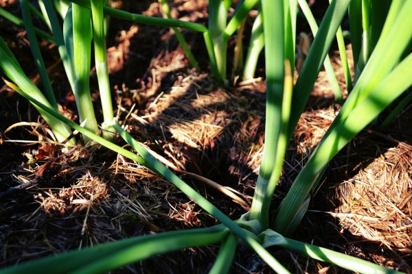 Salladslök i täcke av gräsklipp.