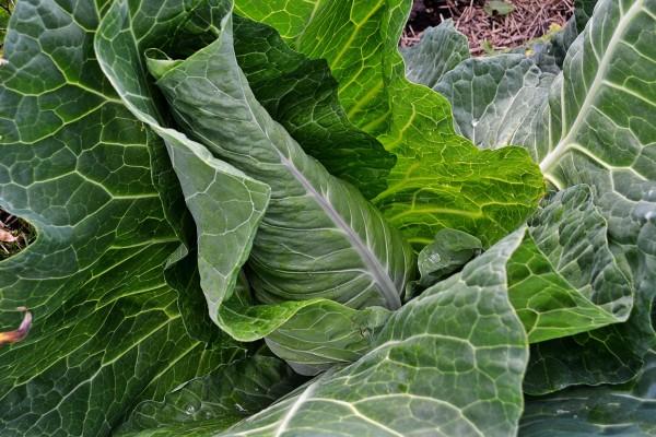 Ett frodigt grönt och spetsigt kålhuvud med ljusa bladnerver.