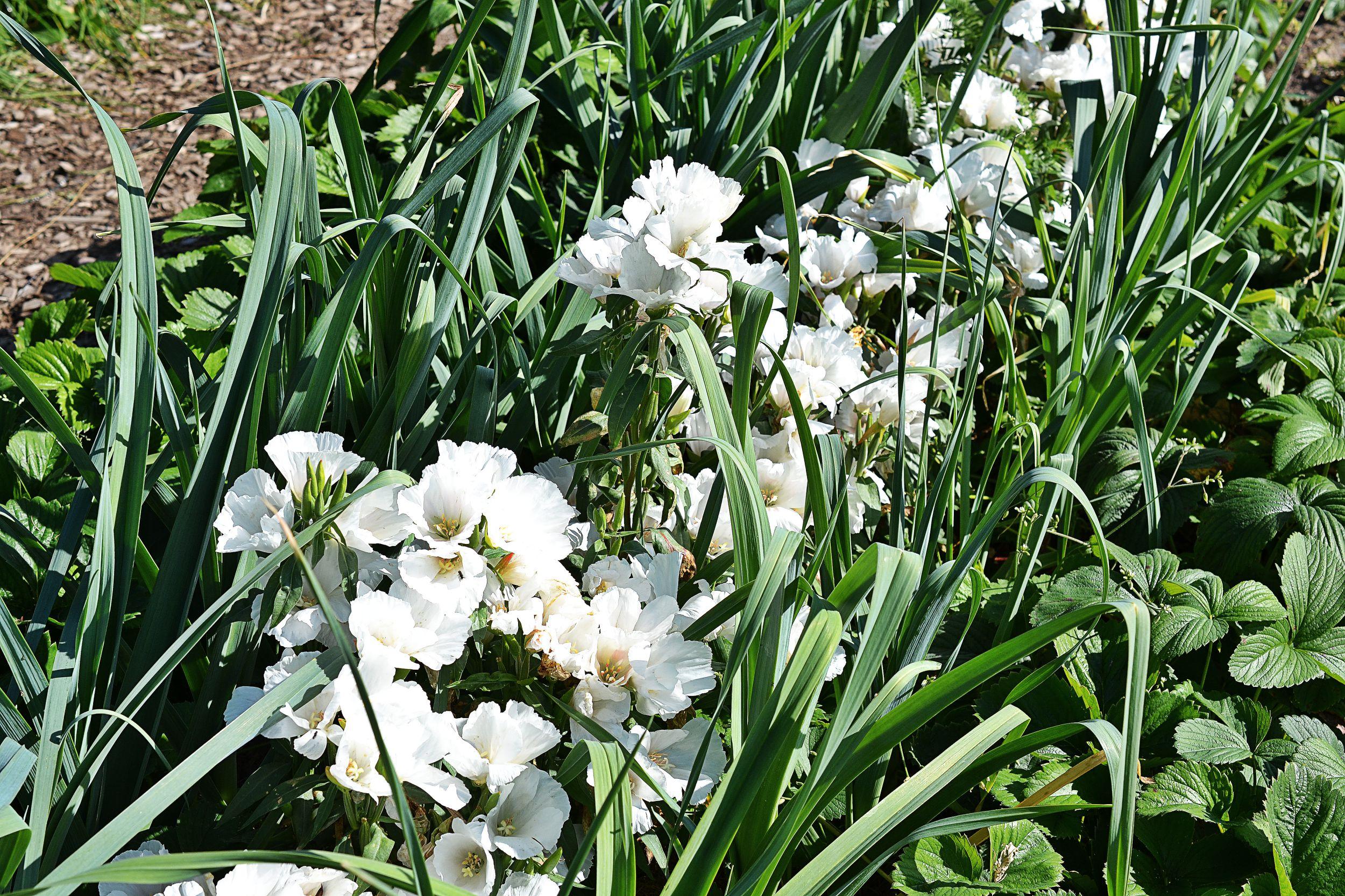 En bädd där jordbuggar, purjolök och atlasblomma odlas tillsammans.